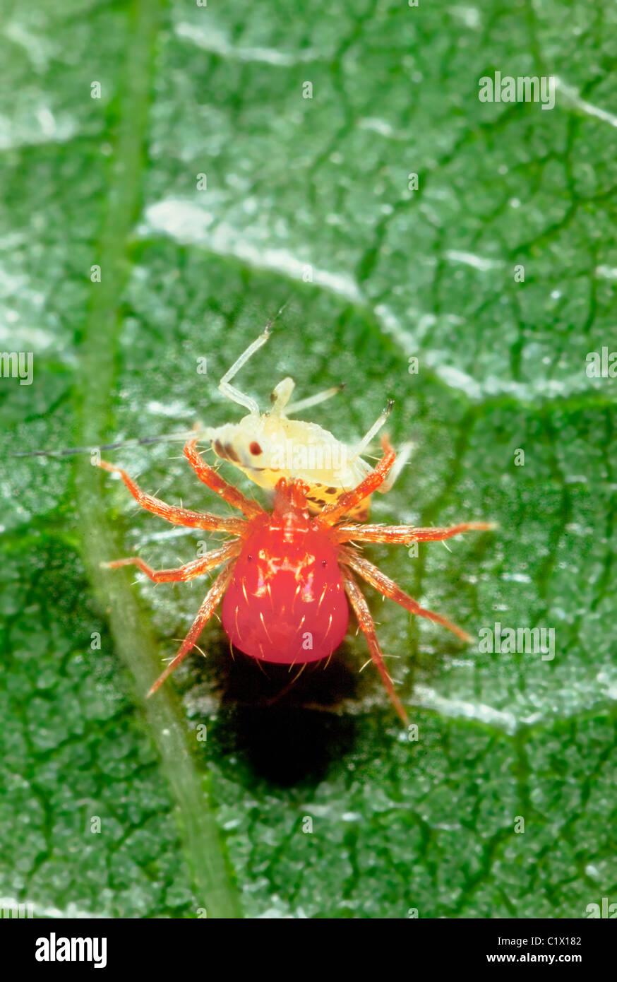 Whirligig acaro, Anystis baccarum mangiare un'afide di Pest Foto Stock