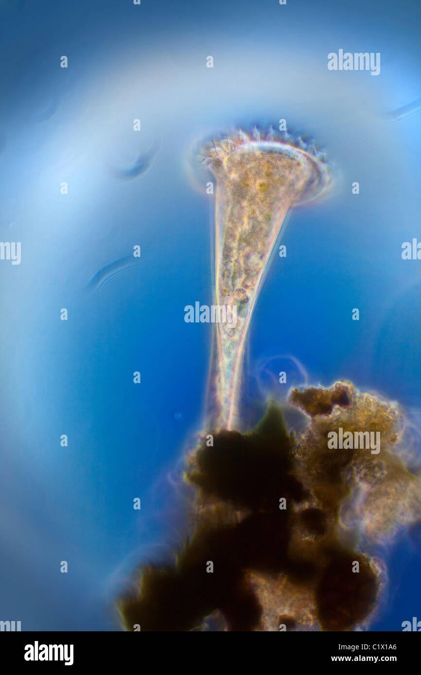 Stentor ciliato illustrante ciglia fotomicrografia in movimento Immagini Stock