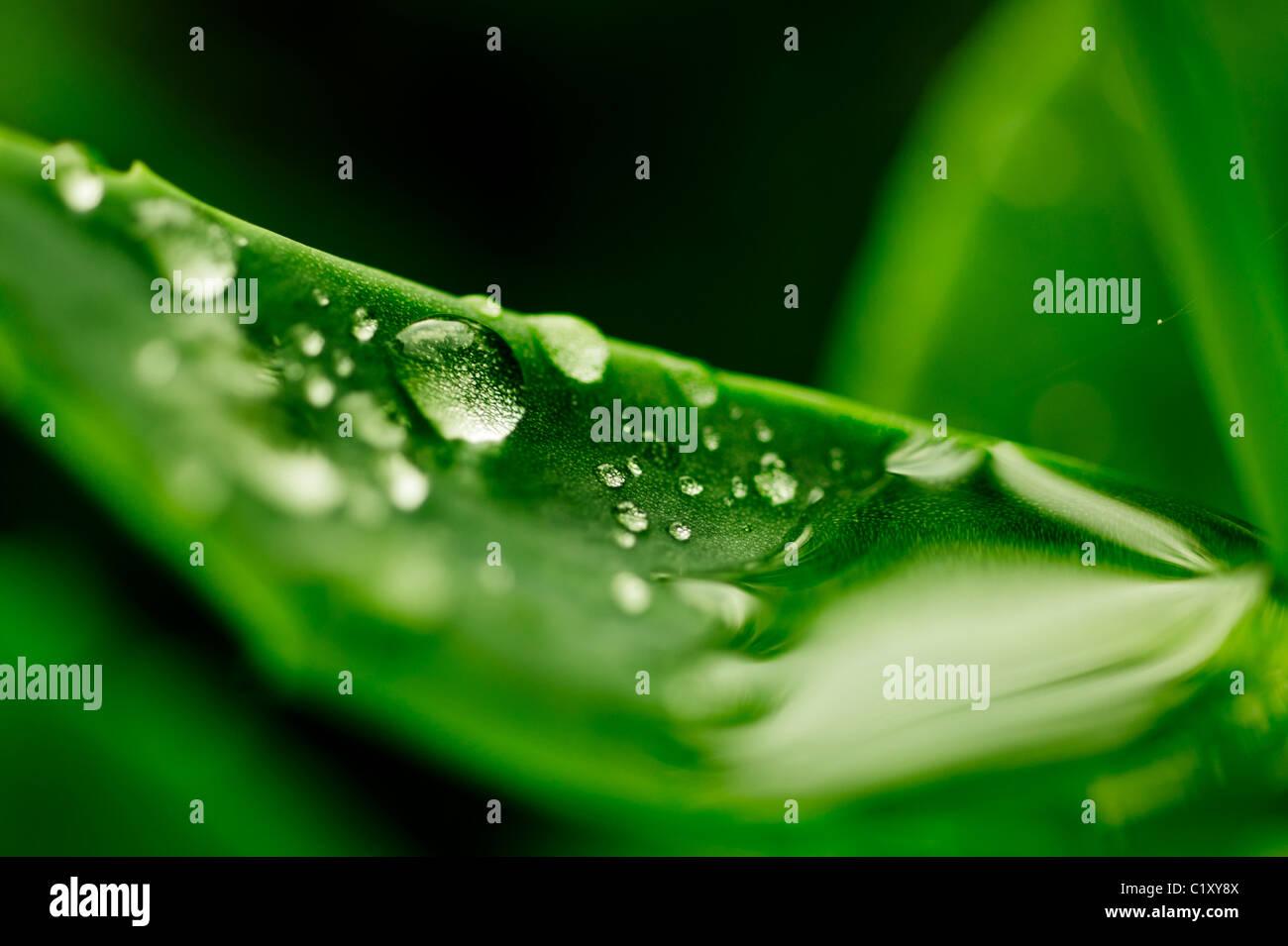 Gocce di acqua su un vibrante foglia verde Immagini Stock