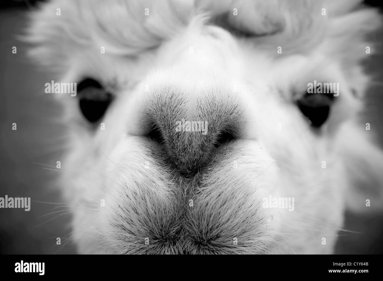 Close up di un alpaca guardando la fotocamera.immagine in bianco e nero Immagini Stock