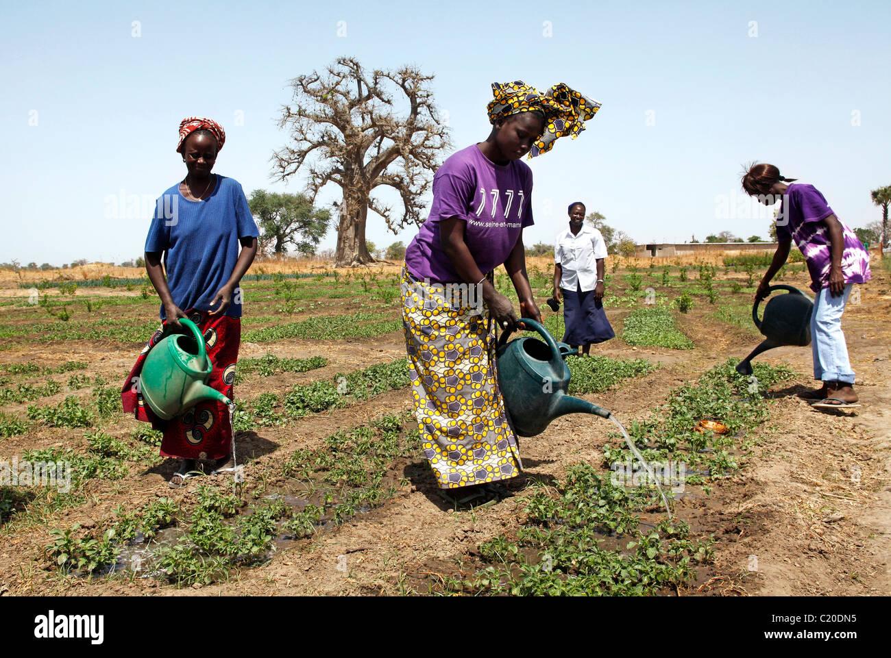Le donne che lavorano nel loro orto, Senegal Immagini Stock