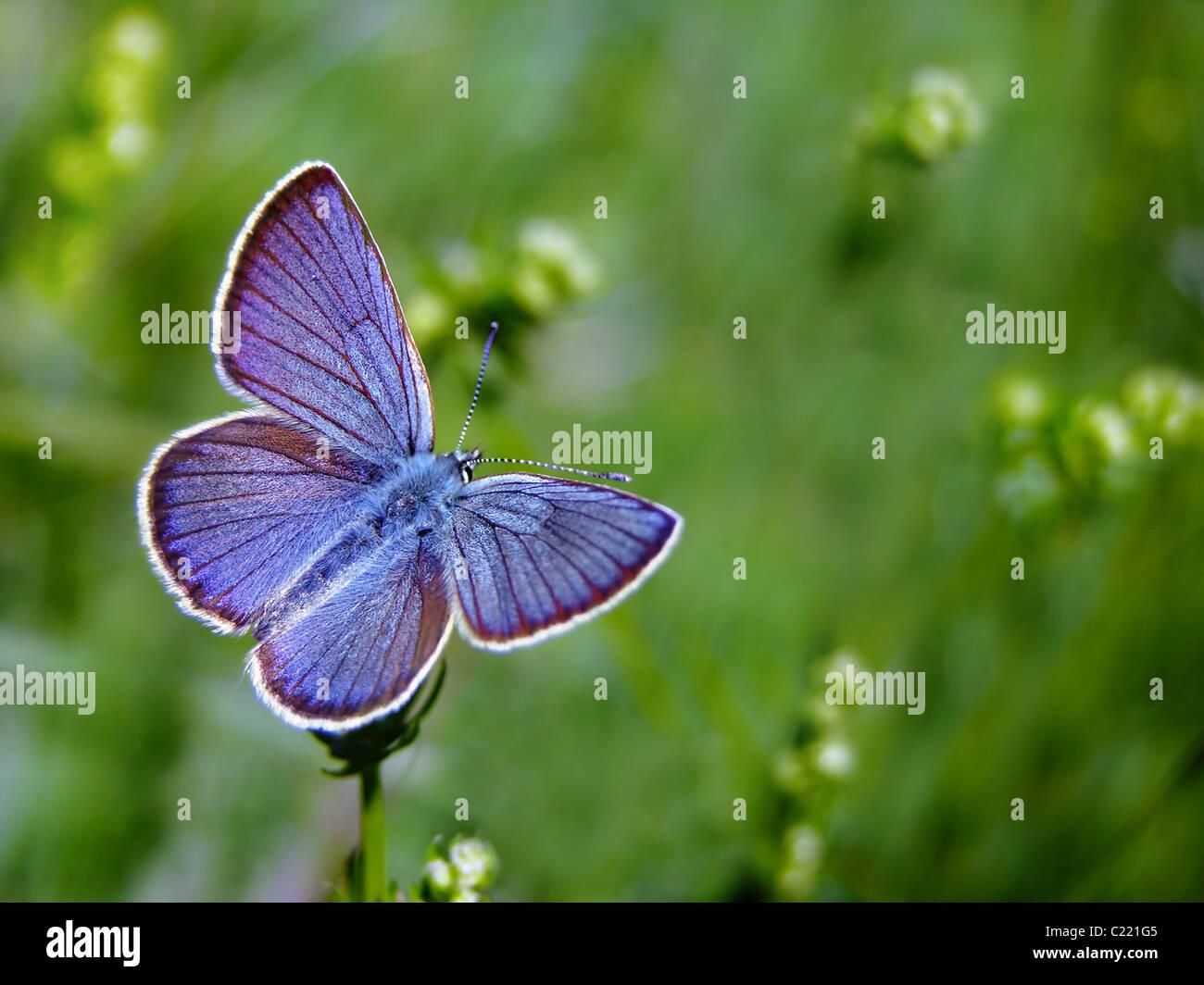 Comune di farfalle blu sul prato di primavera Immagini Stock