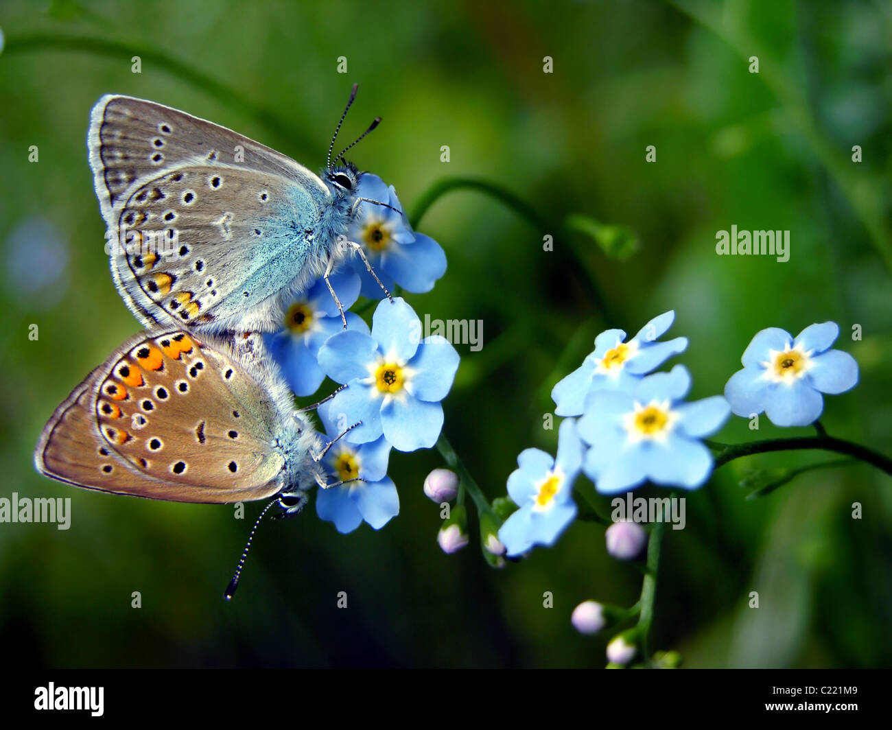 Comune di farfalle blu in amore su dimenticare-me-non fiore (Myosotis arvense) - il giorno di san valentino Immagini Stock