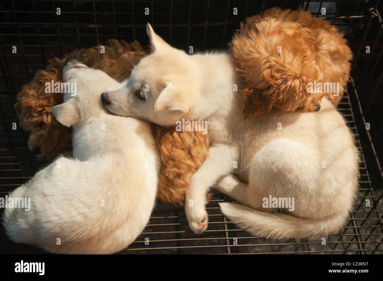 Siberian Husky Cuccioli Per La Vendita Nel Mercato Notturno Di