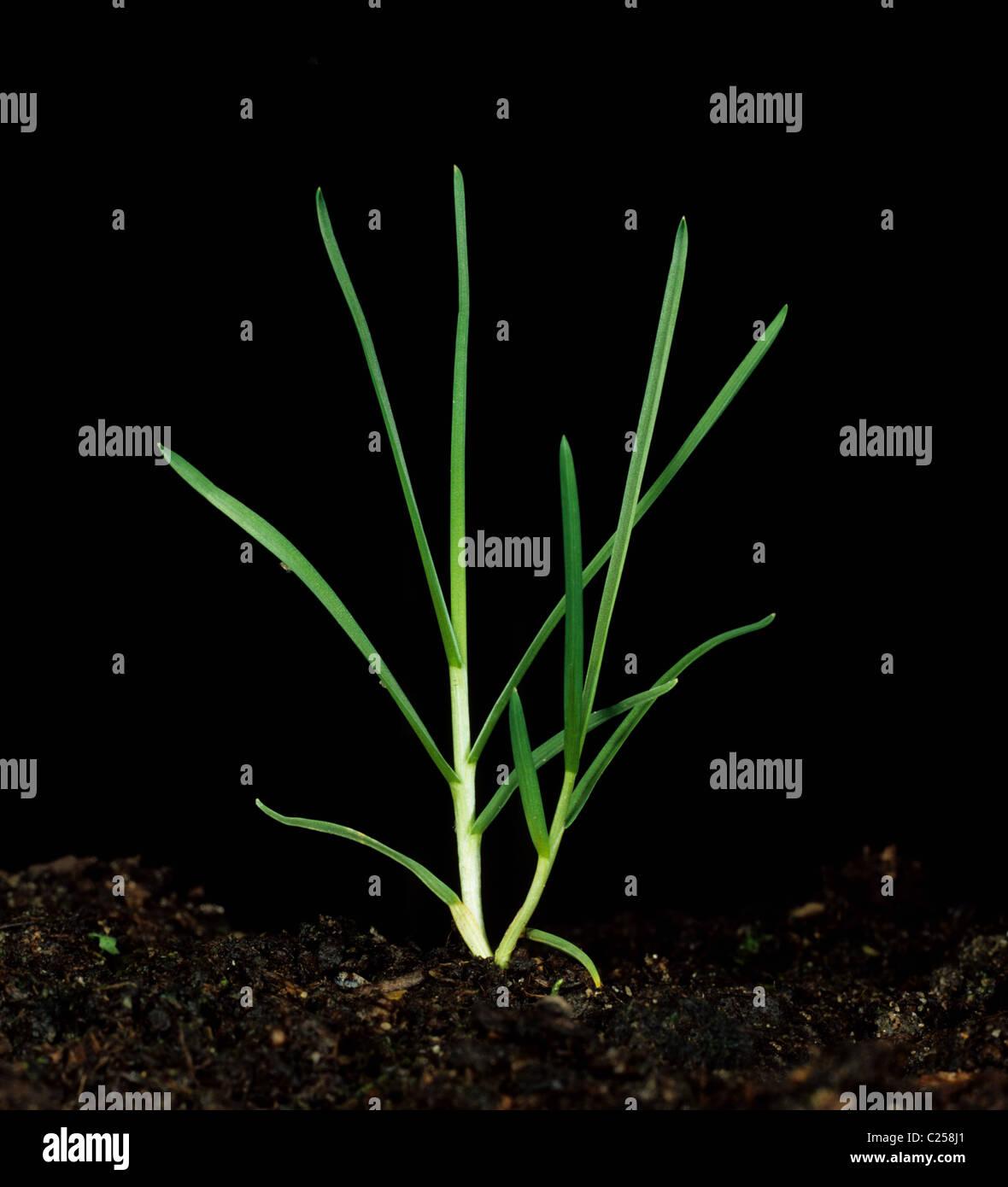 Rough-sgambate erba di prato (Poa trivialis) impianto tillering Immagini Stock