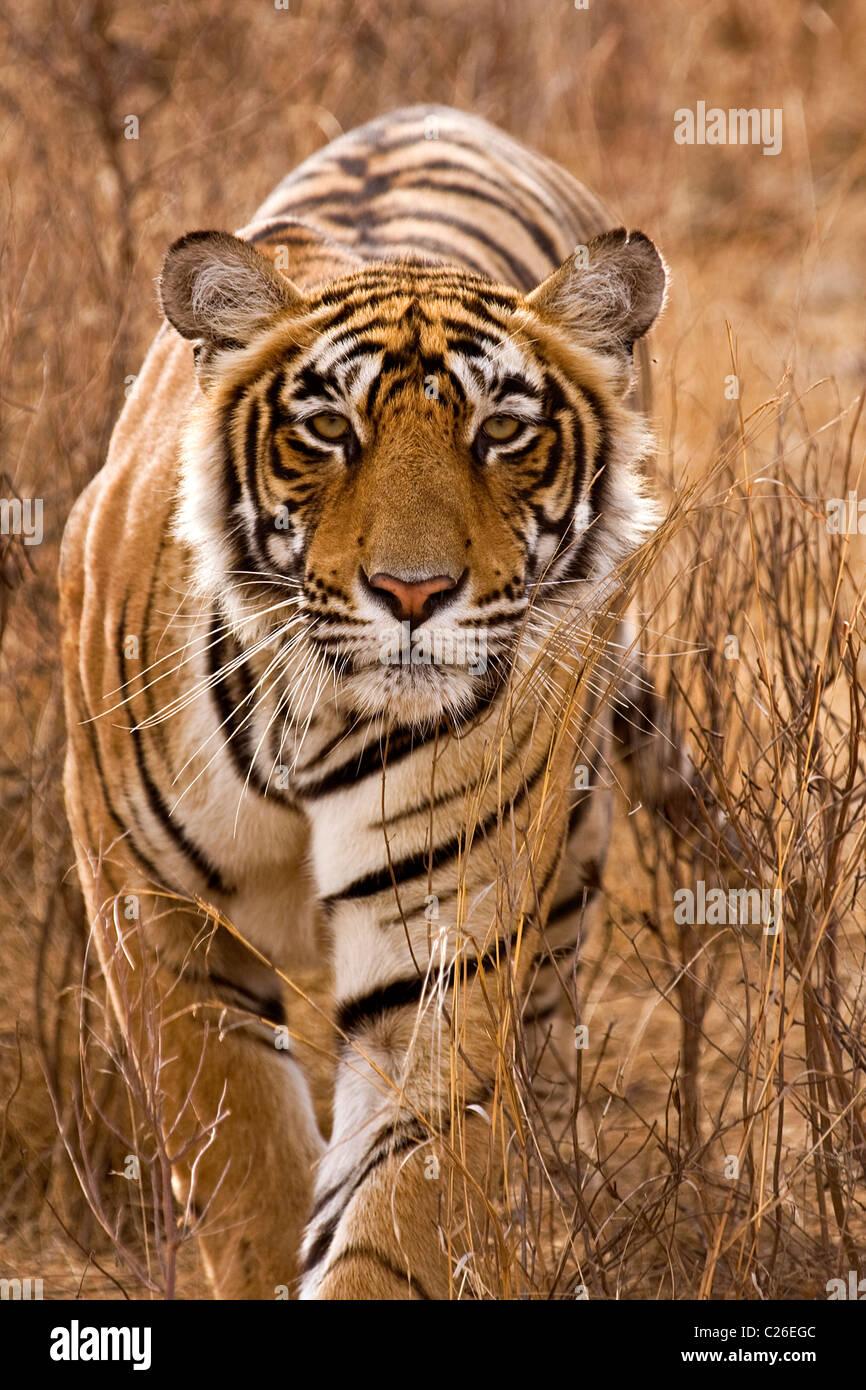 Alert tiger stalking sulla testa di erbe secche secco del bosco di latifoglie di Ranthambore riserva della tigre Immagini Stock