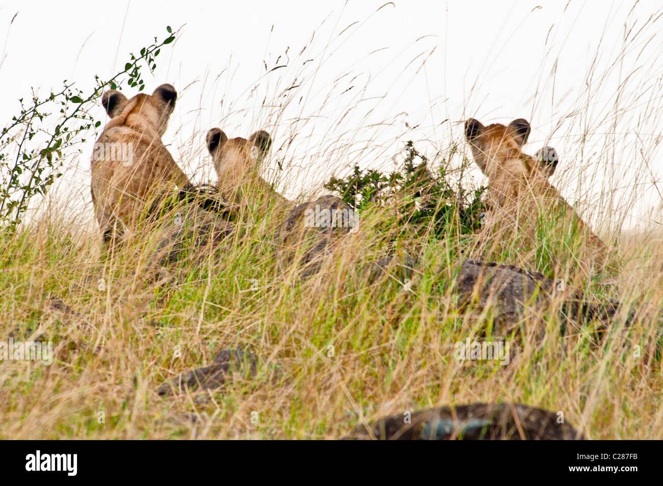 Vista posteriore di quattro Lion Cubs, Panthera leo, Masai Mara riserva nazionale, Kenya, Africa Immagini Stock