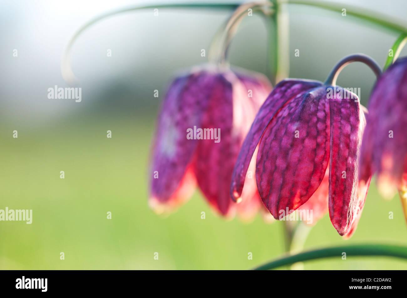 Fritillaria meleagris Testa di serpenti fritillary fiori selvatici nella campagna inglese. Nord Prato, Cricklade, Immagini Stock