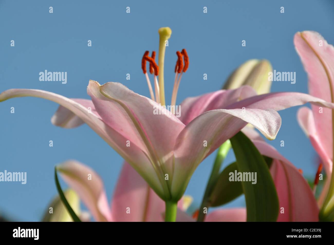 Rosa gigli stargazer fiori stame odore di polline Immagini Stock