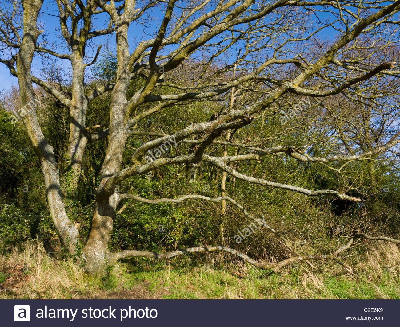 Il vecchio albero maturo grossi rami Hampshire Immagini Stock