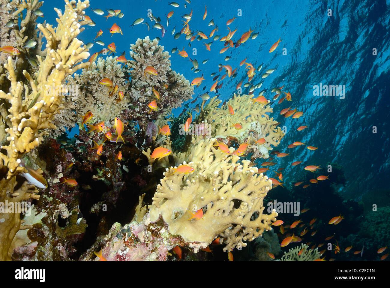 Colonia di corallo di fuoco che cresce su Saint John Reef, Egitto, Mar Rosso Immagini Stock