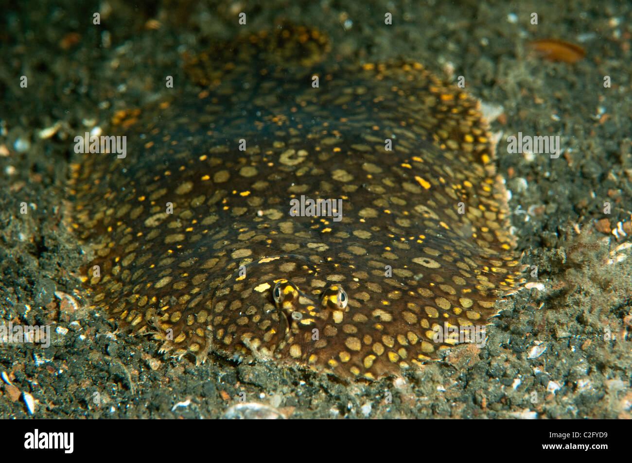 Peacock suola, Pardachirus pavoninus Sulawesi, Indonesia. Immagini Stock