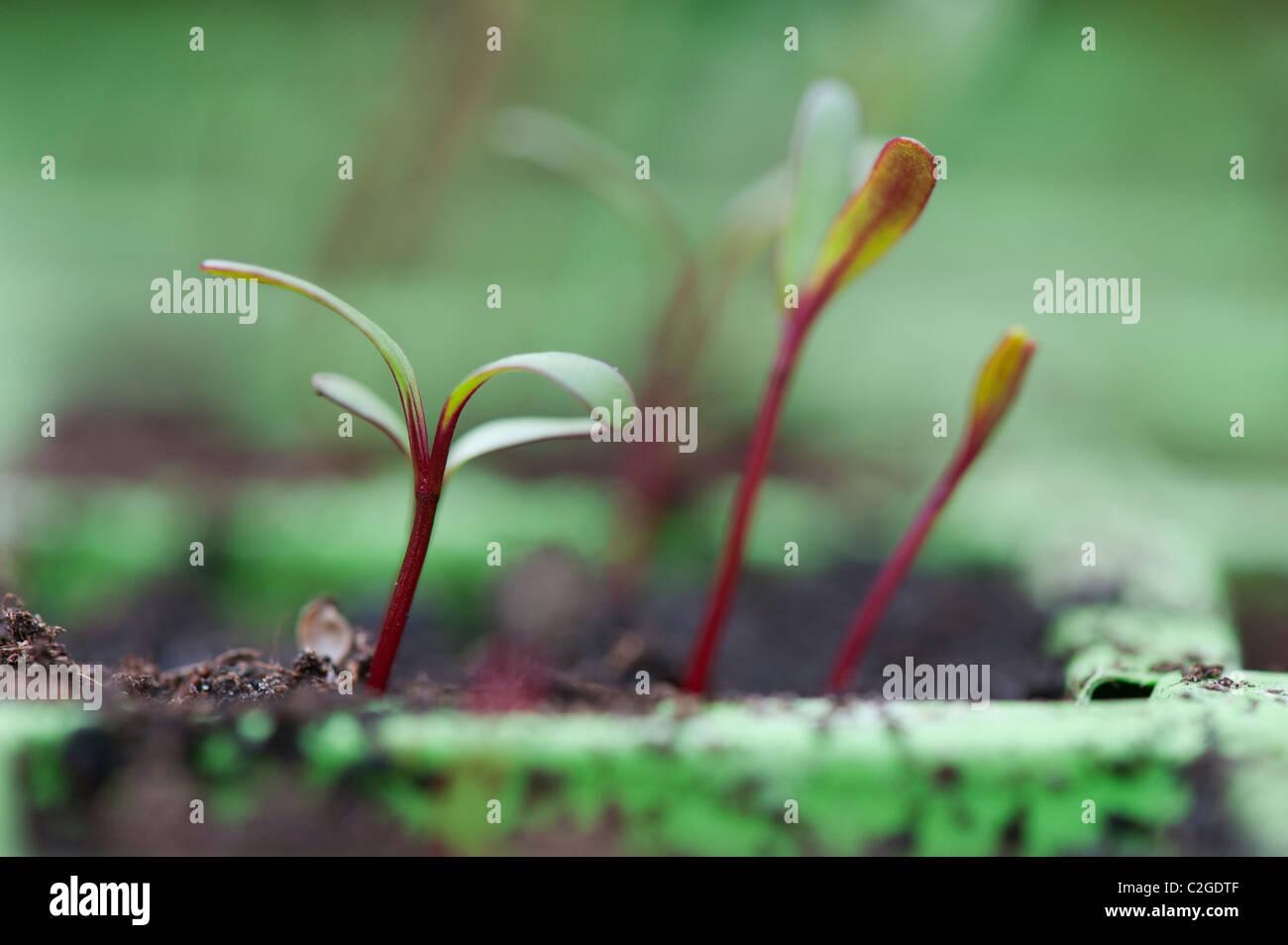 Beta vulgaris. La coltivazione di piantine di barbabietole Immagini Stock