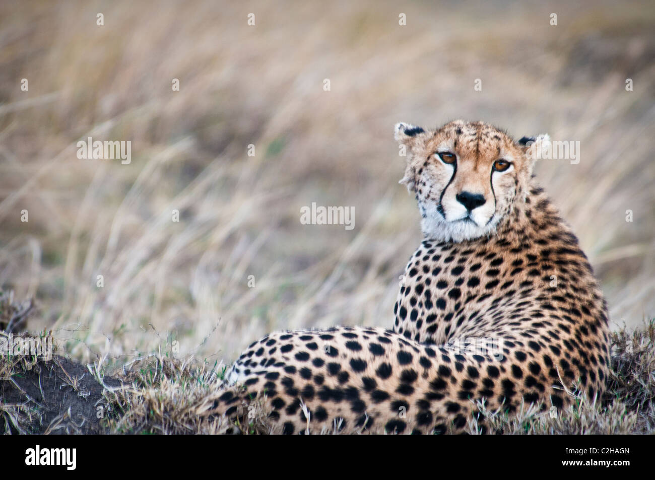 Cheetah, Acinonyx jubatus, in cerca di preda, il Masai Mara riserva nazionale, Kenya, Africa Foto Stock