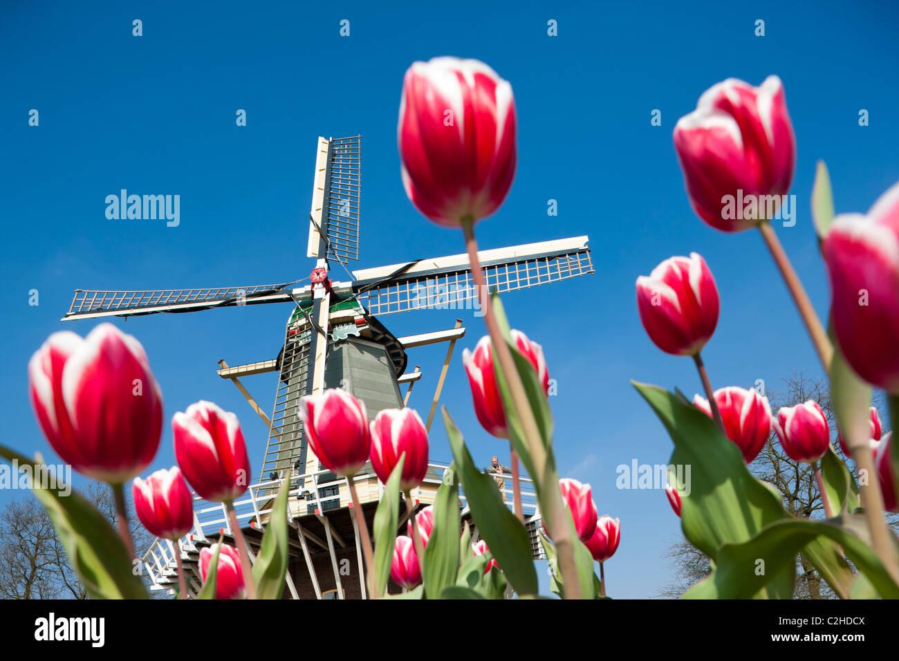 Giardini Keukenhof. Mulino a vento olandese con Miller e alto edificio rosso e bianco tulipani a Keukenhof Tulip giardini fioriti di Lisse, Holland, Paesi Bassi Foto Stock