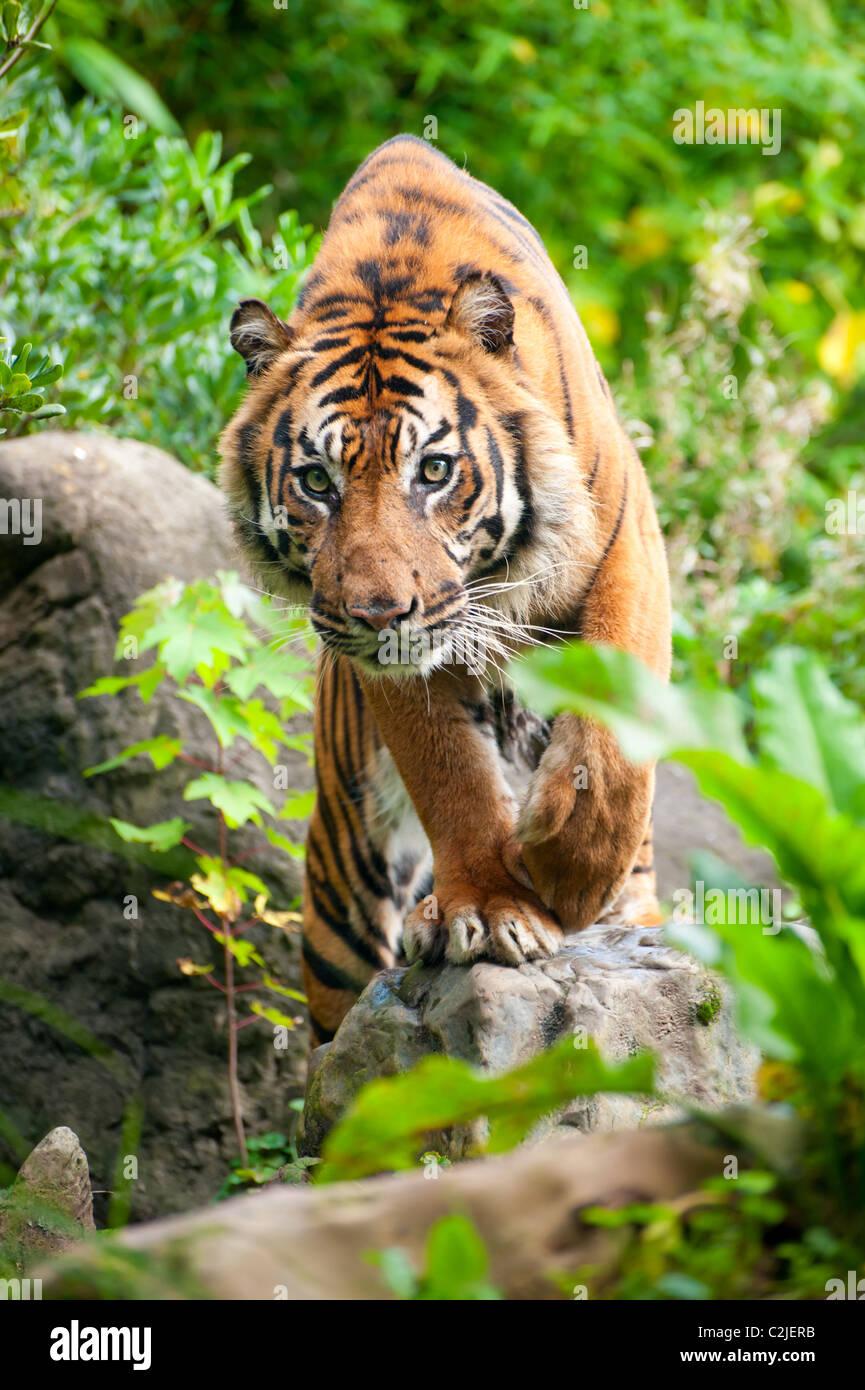 In prossimità di una tigre di Sumatra nella foresta Immagini Stock