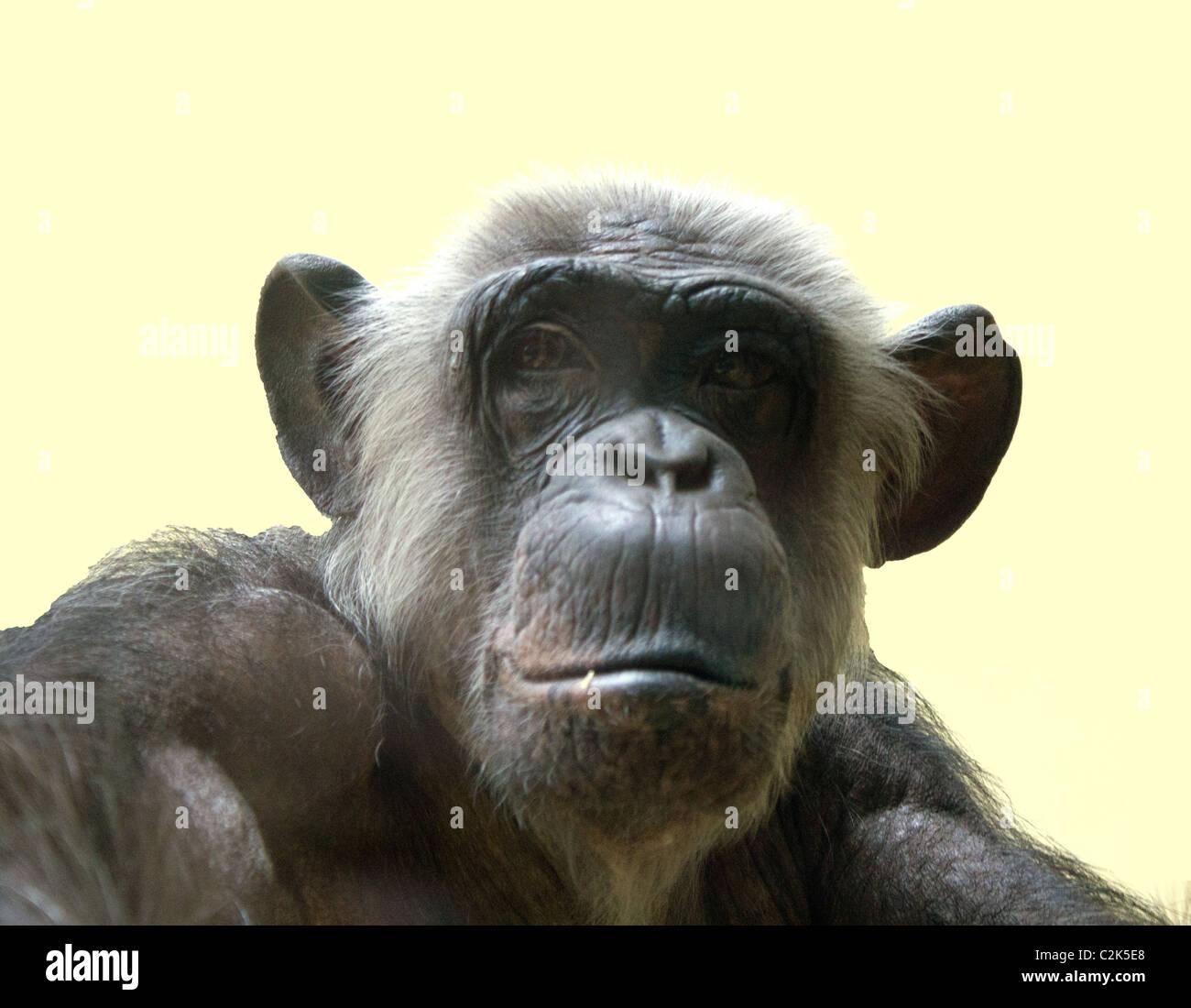 Scimmia isolata Immagini Stock