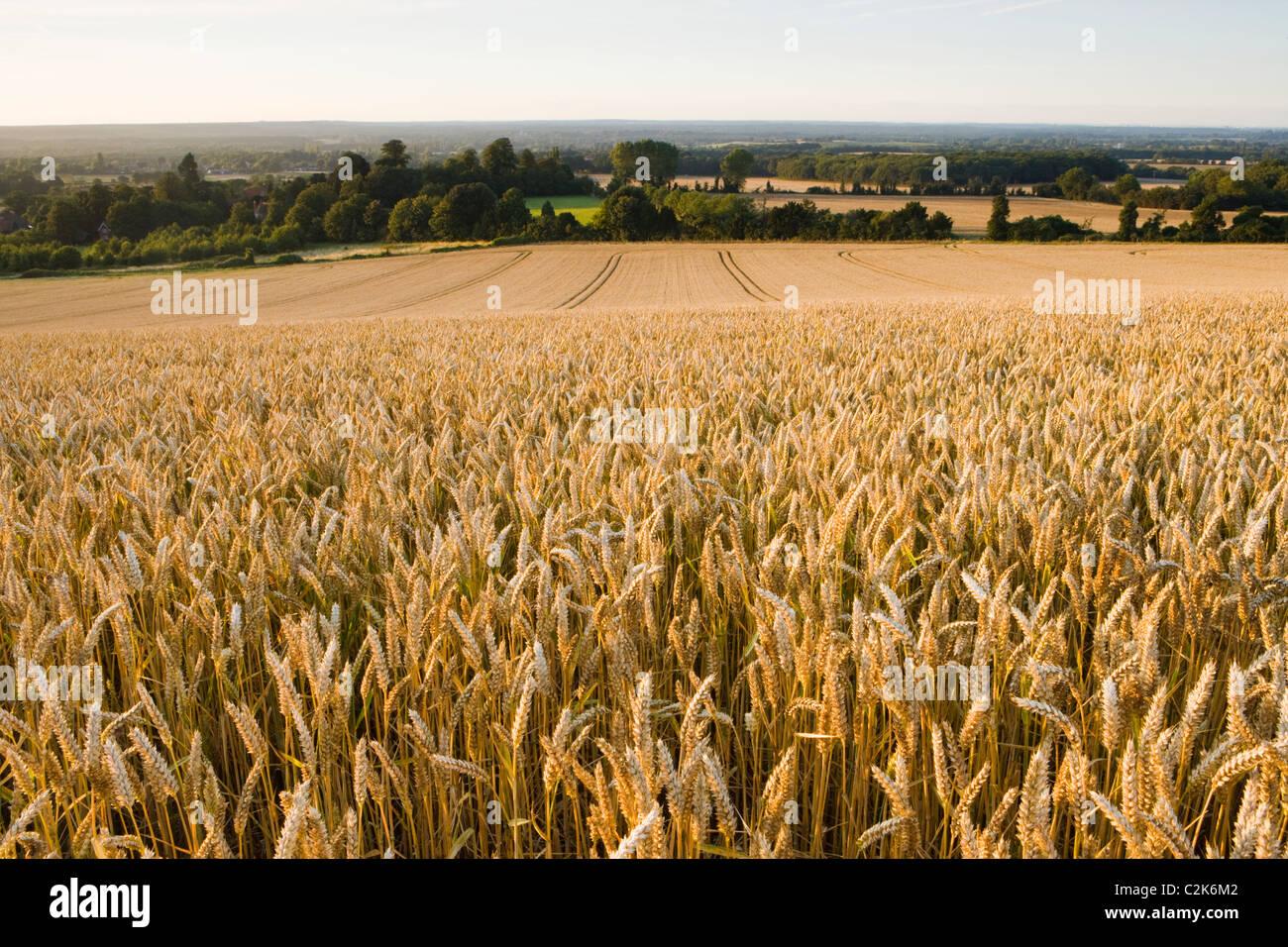 Campo di grano maturo, Surrey, Regno Unito Immagini Stock