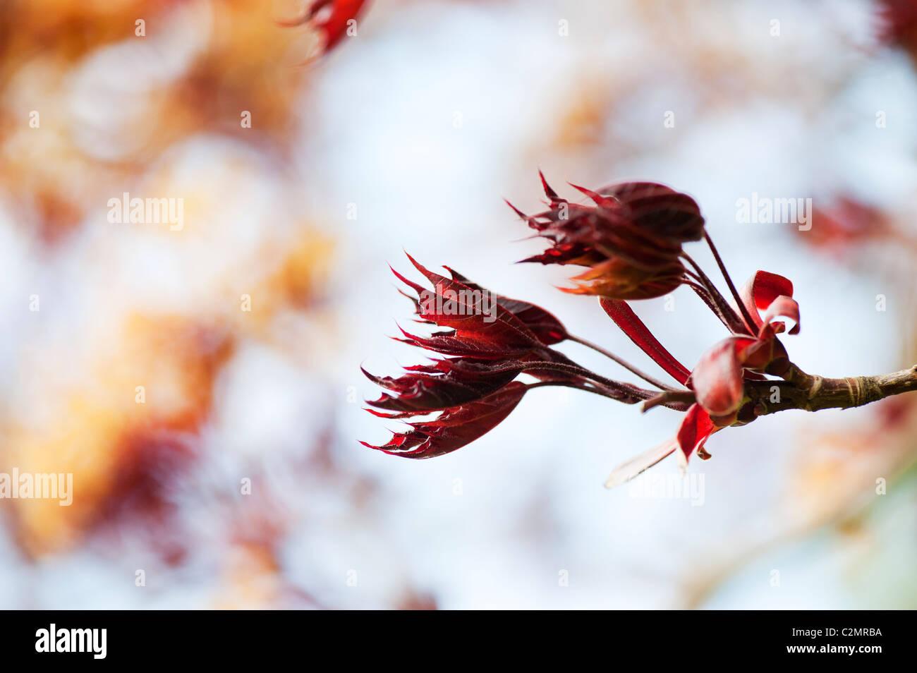 Acer platanoides 'Goldsworth viola'. Norvegia acero nuove foglie in primavera. Regno Unito Immagini Stock