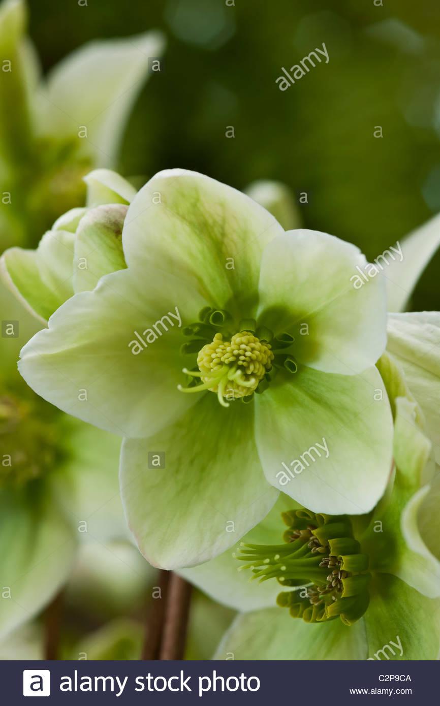Rosa di Natale Helleborus niger Walberton avorio del principe l'Elleboro tardo inverno perenne di fiori di colore Immagini Stock