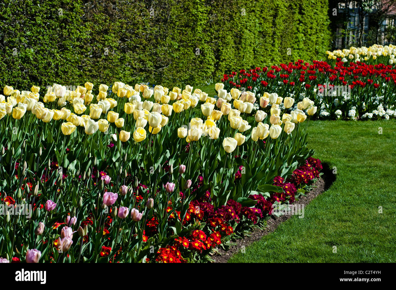 Tulip FLORADALE avorio e primula rossa in crescendo (Crescendo serie) Immagini Stock