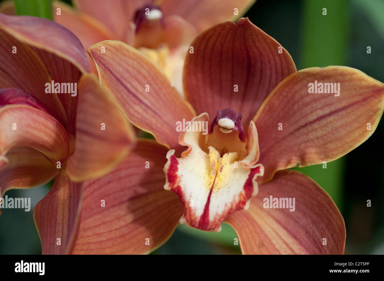 "Cymbidium Torcia Sandridge gx ""Ruth' Immagini Stock"