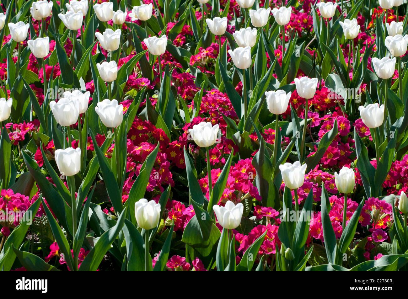 Tulip sogno bianco e Primula CRESCENDO ROSE (Crescendo serie) Immagini Stock