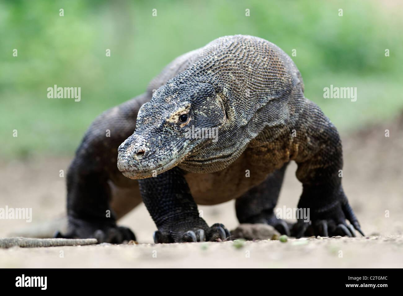 Drago di Komodo, Varanus komodoensis, singolo lizard sul pavimento, Komodo Indonesia, Marzo 2011 Immagini Stock
