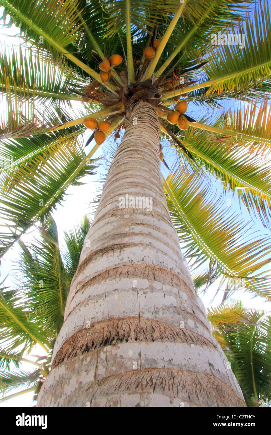 Noci di cocco Palm tree vista prospettica dal pavimento in alto Immagini Stock