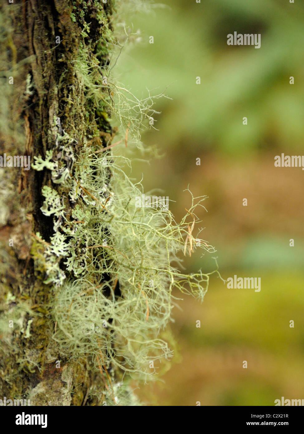 Usnea fragilescens, la barba fragili licheni Immagini Stock