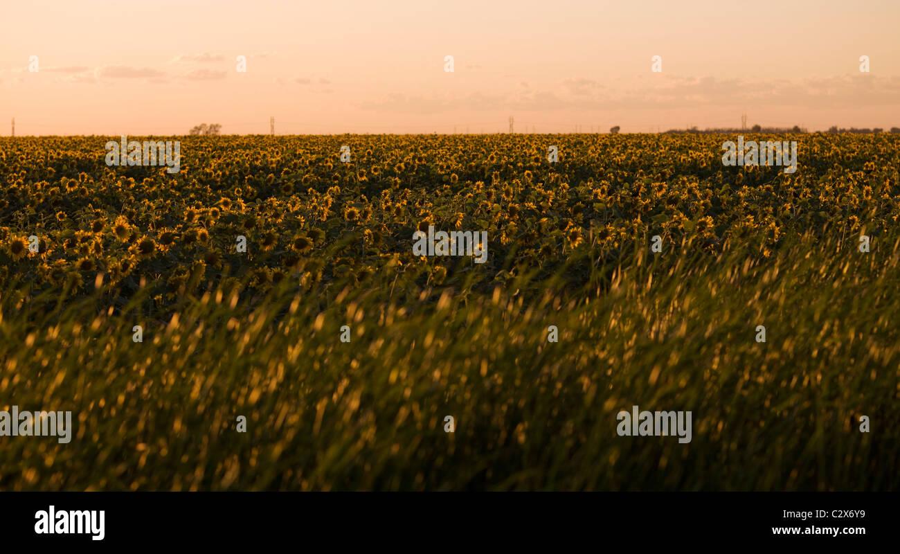 Campo di girasole, Manitoba, Canada Immagini Stock