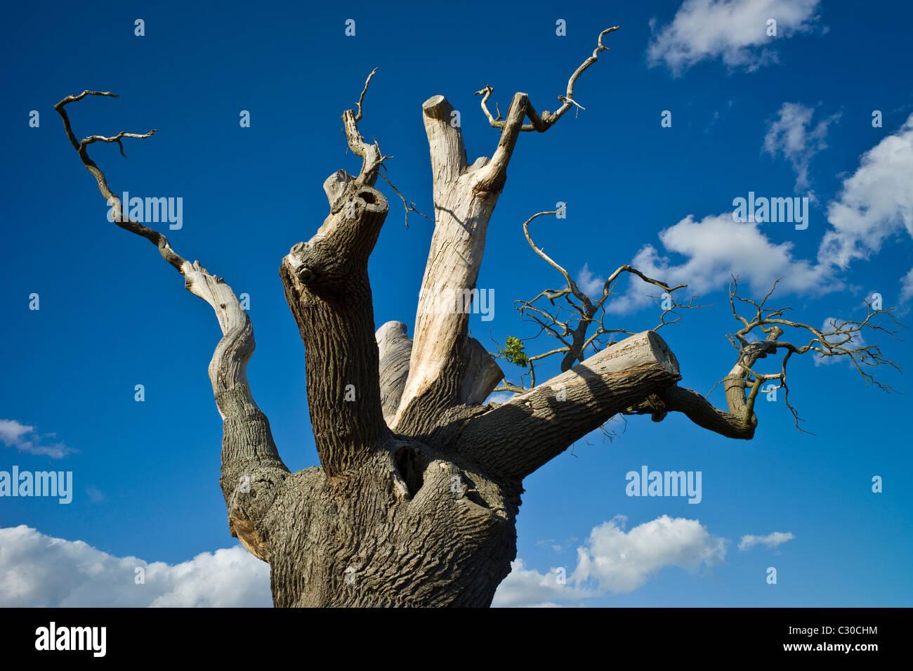 Morendo quercia in Oxfordshire, Inghilterra Immagini Stock
