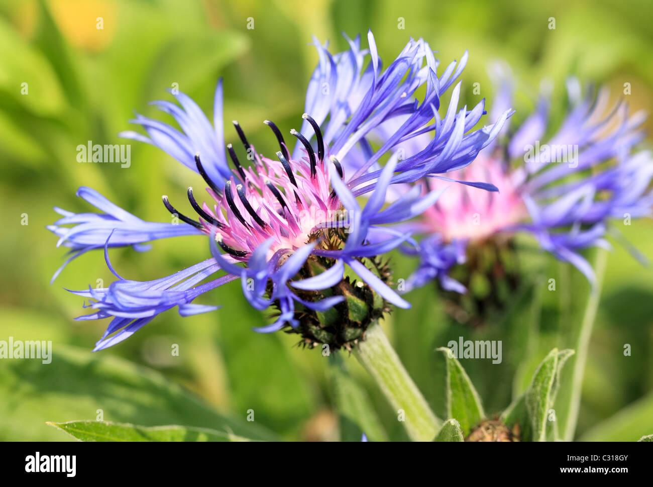 Fiordaliso, Laurea pulsante, Bluebottle, Boutonniere flower, Hurtsickle, fiore Cyani Centaurea cyanus Immagini Stock