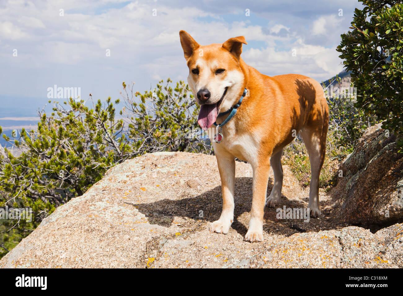 Ritratto di un cane in Sandia Mountains al di fuori Albuquerque, Nuovo Messico, Stati Uniti d'America. Immagini Stock