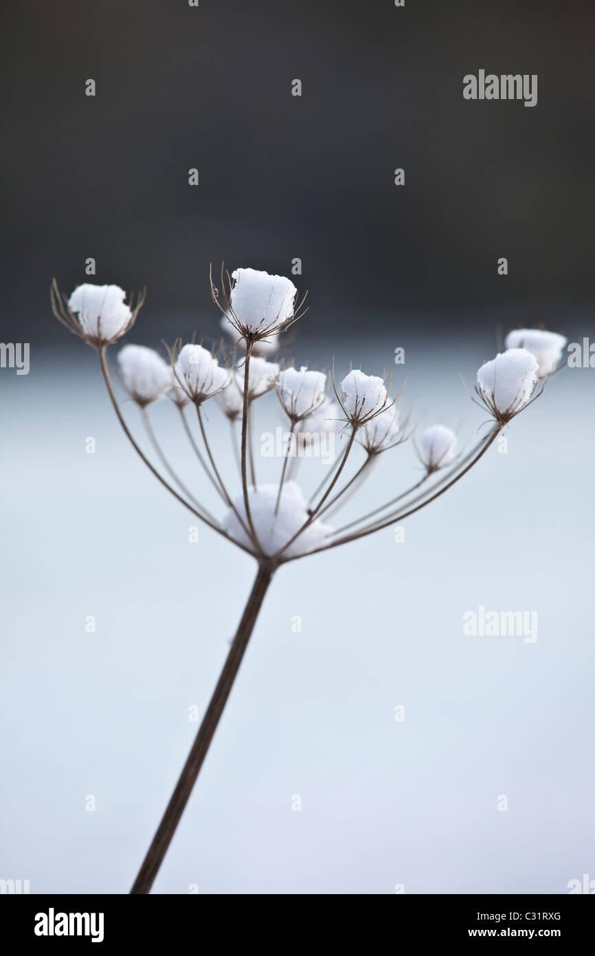 Scena invernale trasformata per forte gradiente di brina sui hogweed gigante, il Costwolds, REGNO UNITO Immagini Stock