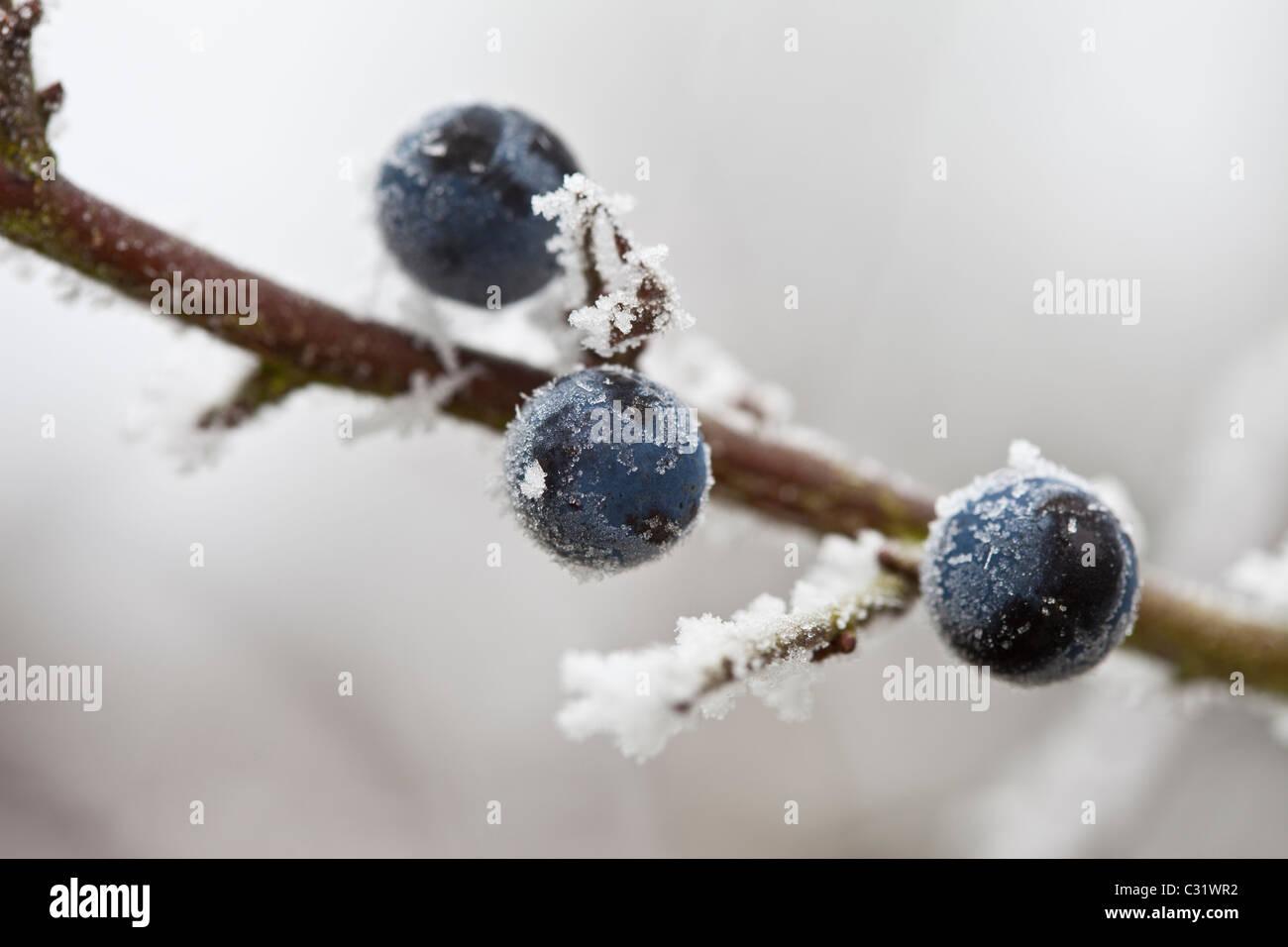 Scena invernale trasformata per forte gradiente di brina sui prugnoli in Cotswolds, REGNO UNITO Immagini Stock