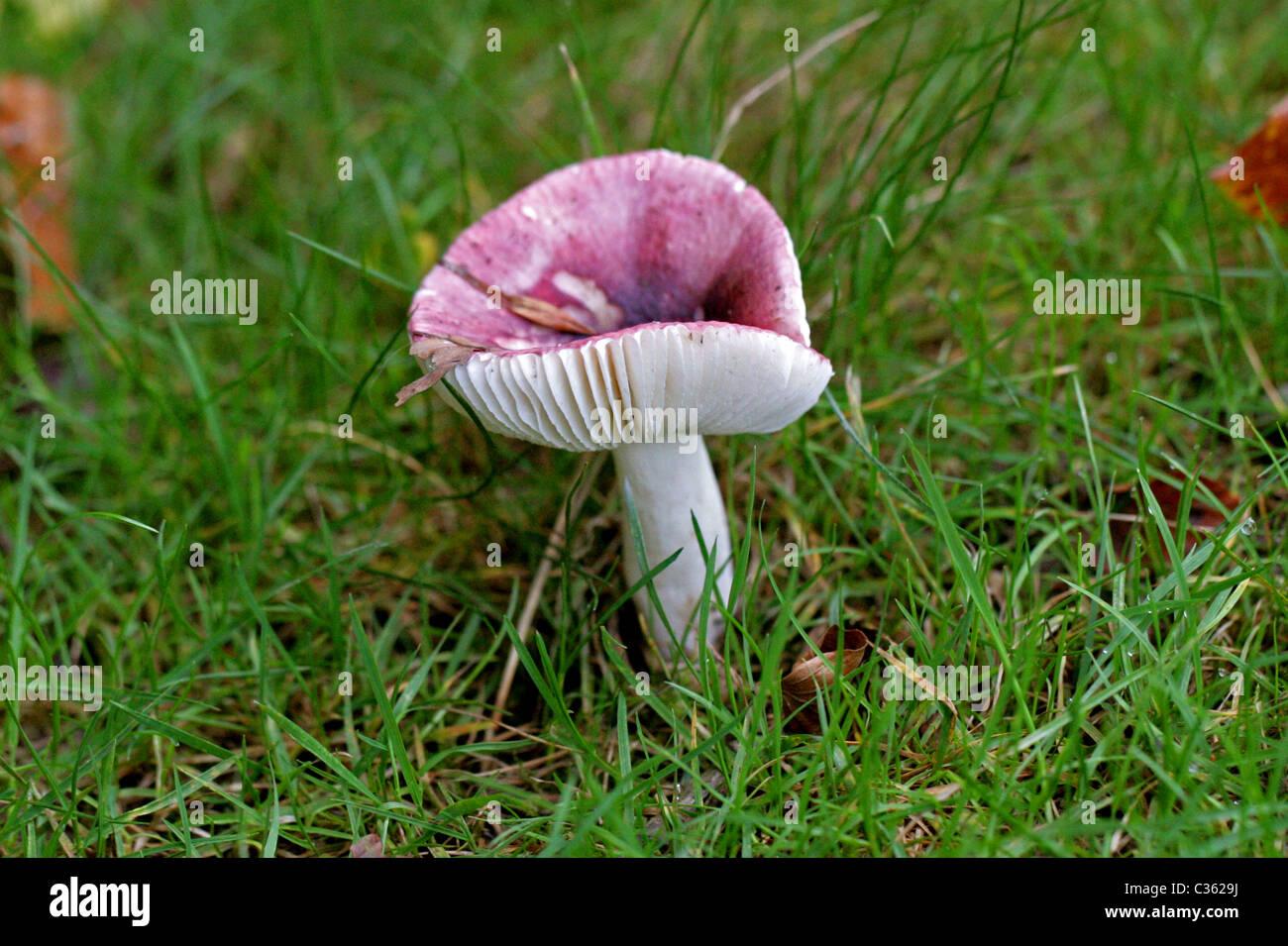 Il flirt, Russula vesca, Russulaceae. Fungo rosa, fungo. Immagini Stock