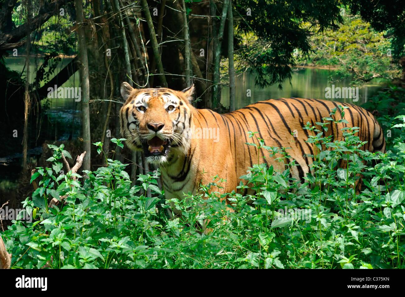 Tigre indiana Immagini Stock