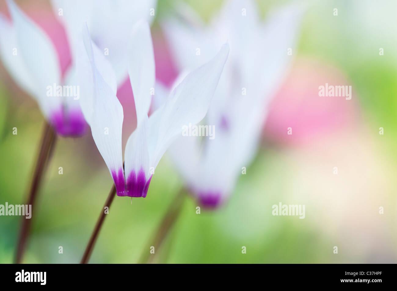 Cyclamen persicum var. persicum f. puniceum 'Tilebarn Karpathos' Fiore Immagini Stock