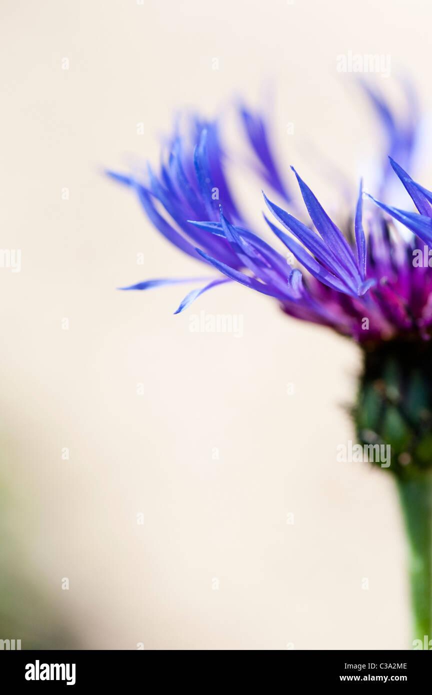 Centaurea montana. Fiordaliso perenni, Mountain bluet, Fiordaliso, fiordaliso di montagna contro uno sfondo chiaro. Immagini Stock
