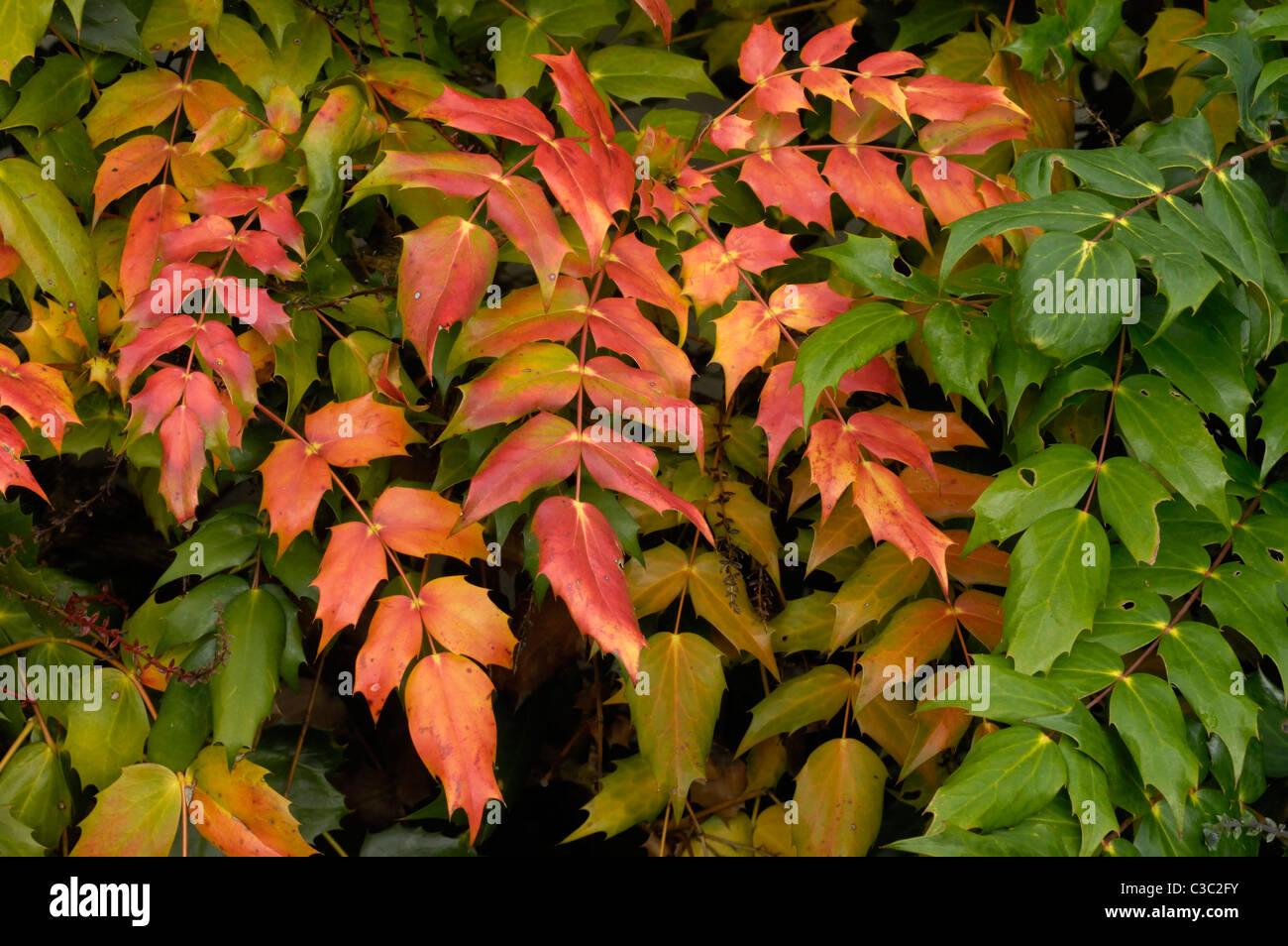 Red morendo foglie su un arbusto mahonia poco prima della fioritura Immagini Stock