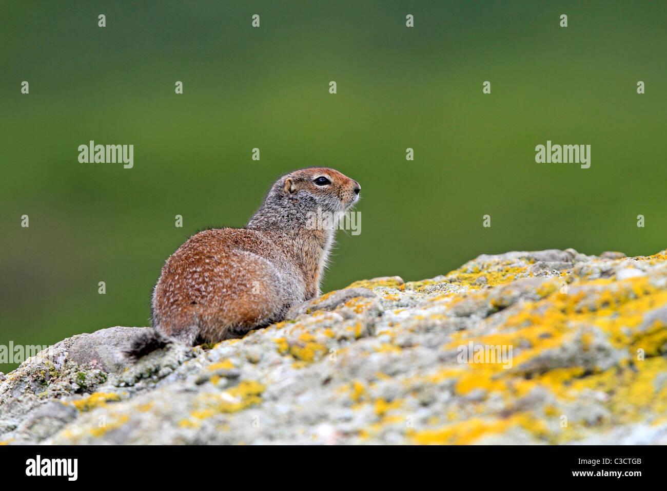 Terra artica scoiattolo (Spermophilus parryii). Adulto su una roccia. McNeil River Bear visualizzazione e Wildlife Immagini Stock