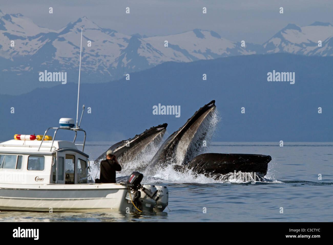 Humpback Whale (Megaptera novaeangliae). La balena watcher per scattare foto delle balene bolla alimentazione rete. Immagini Stock
