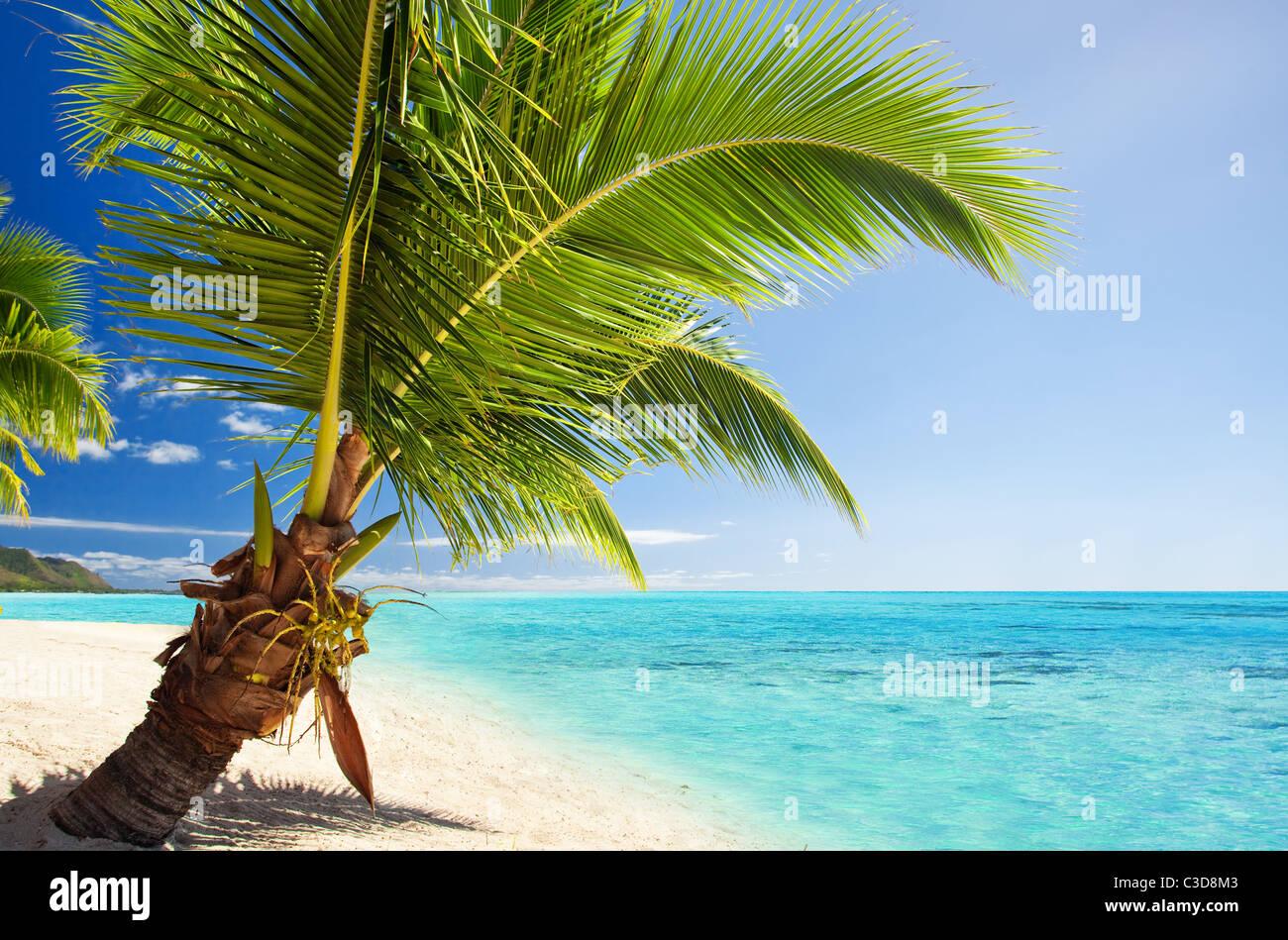 Piccolo albero di palme che pende sulla straordinaria laguna blu Immagini Stock