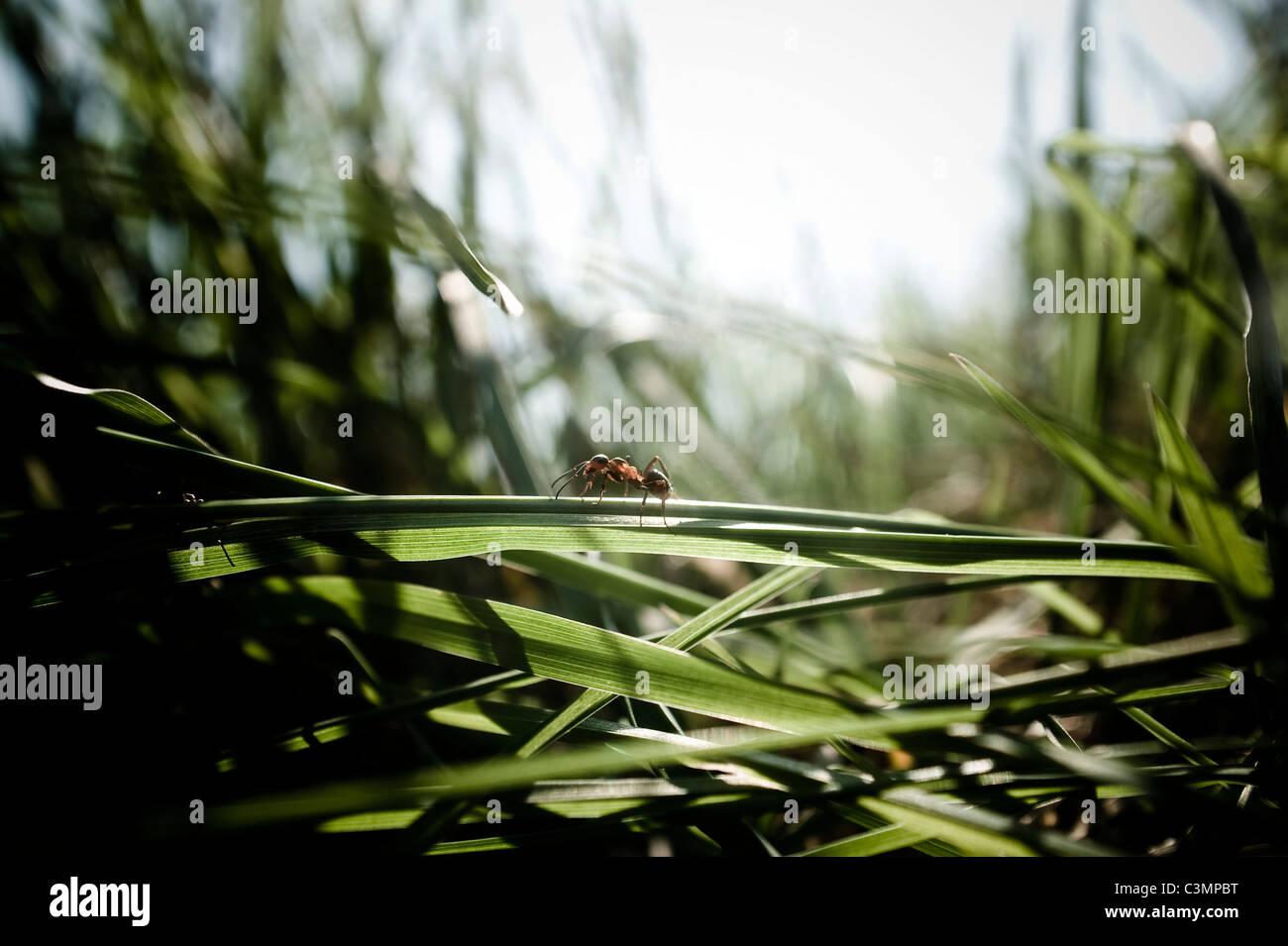 Piccole formiche venire attraverso una lama di erba. Immagini Stock