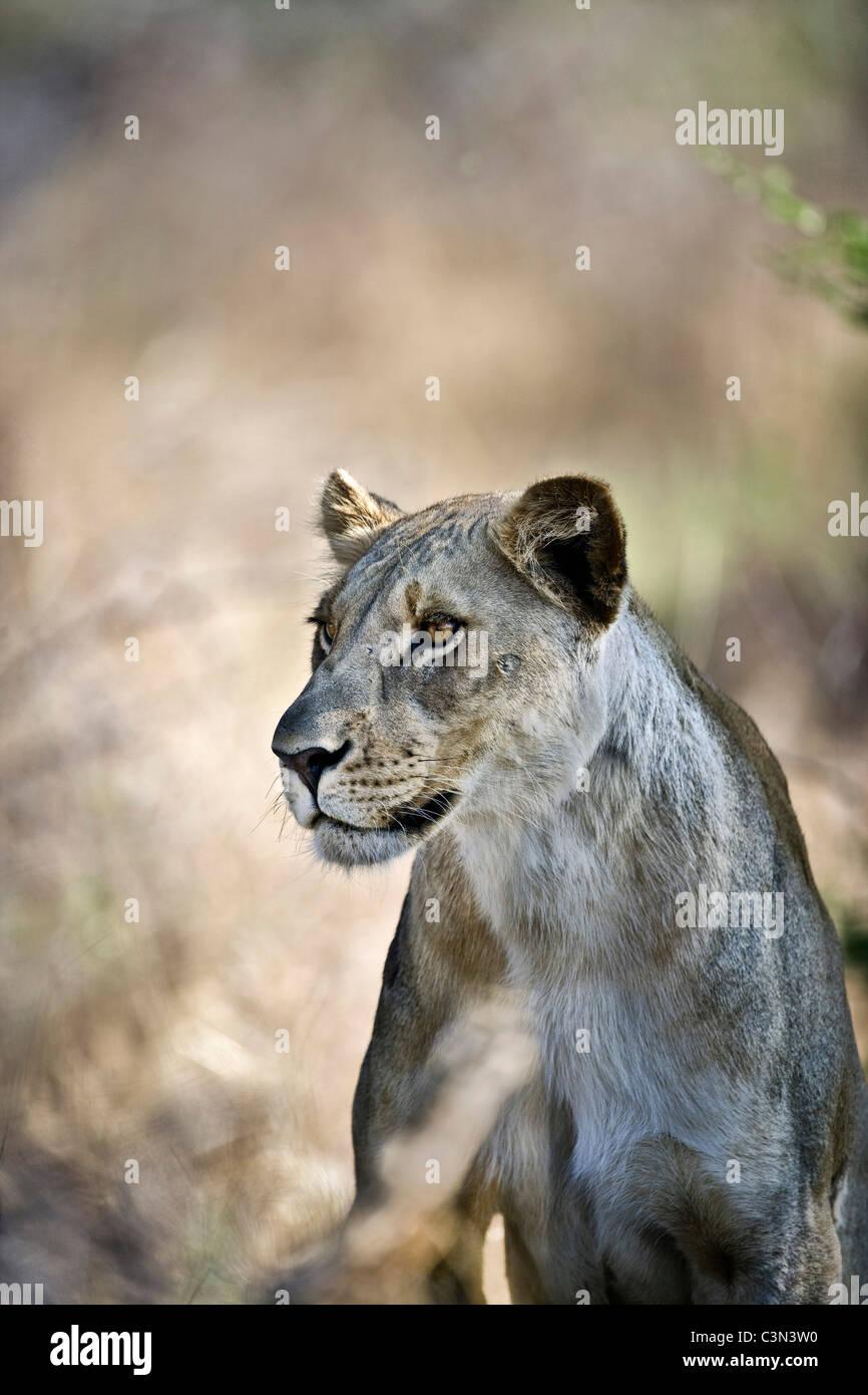 Sud Africa, vicino Zeerust, Madikwe National Park . Leone femmina, Leonessa. (Panthera leo). Immagini Stock