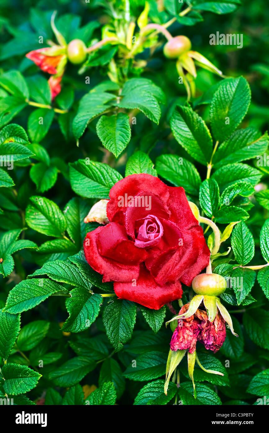 Trovare fiori artificiali nella boccola blooming red rose Immagini Stock