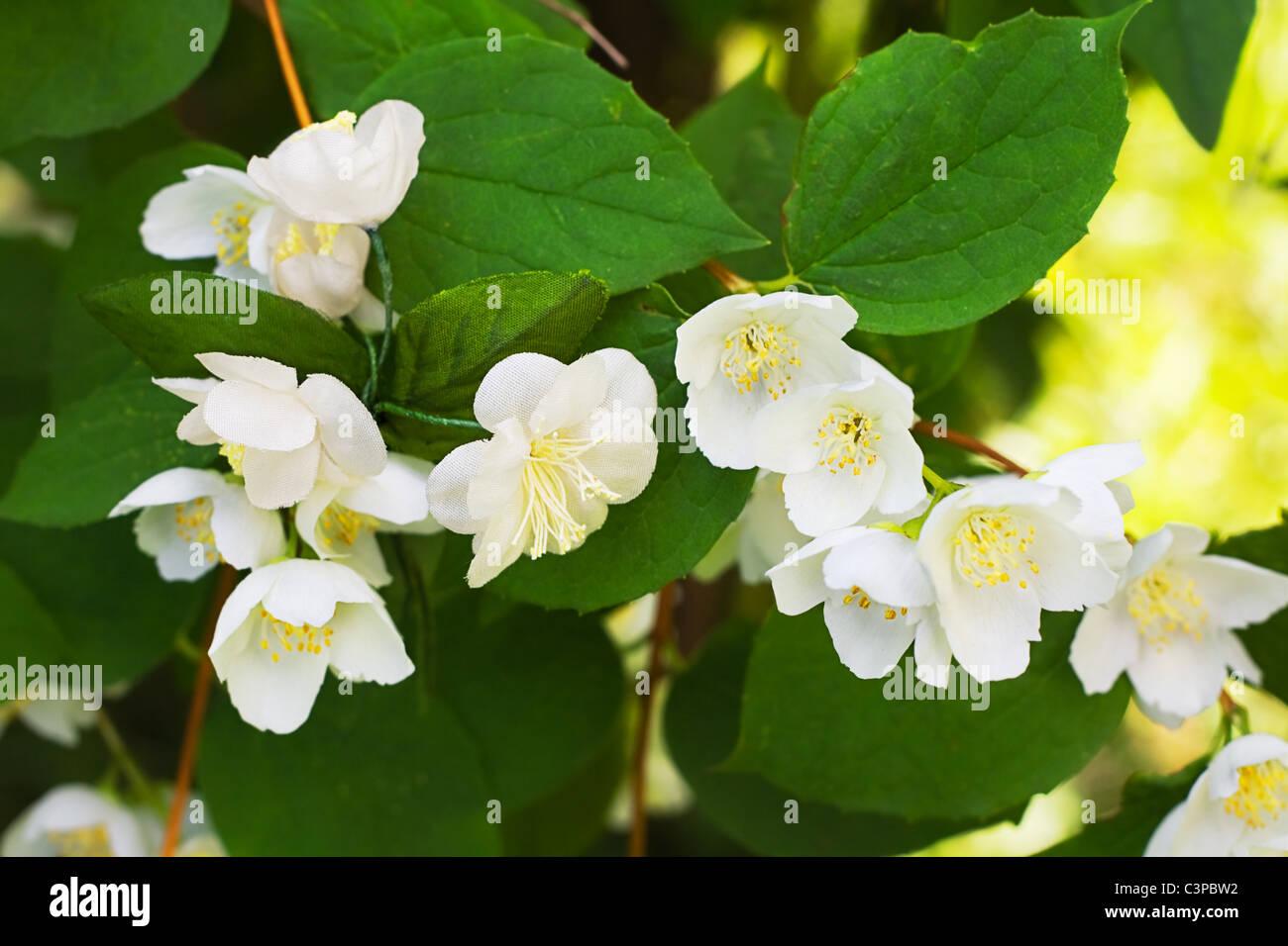 Trovare fiori artificiali nel ramo blooming jasmine Immagini Stock