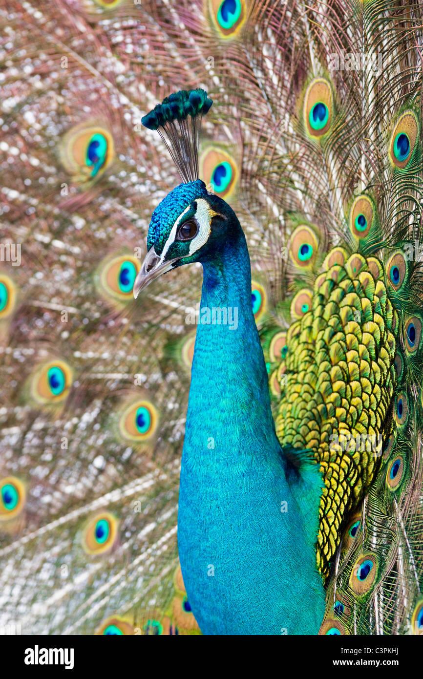 In Germania, in Baviera, ravvicinata di un pavone indiano Immagini Stock