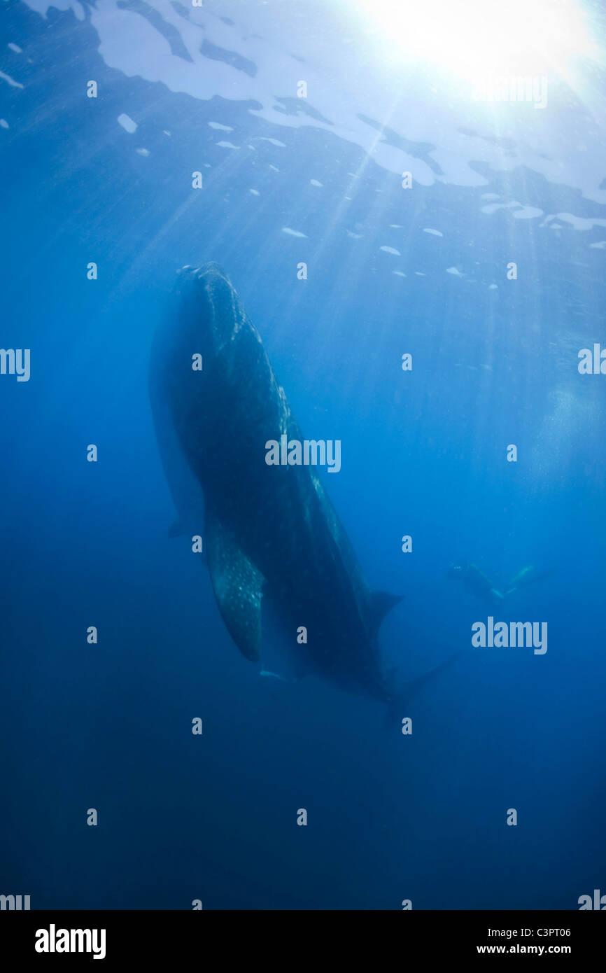 Un squalo balena si nutre di plancton 35 miglia al largo della costa di Holbox Mexico. Immagini Stock